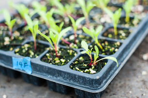 Seed tray with seedling plants in plant nurseryの写真素材 [FYI03565070]