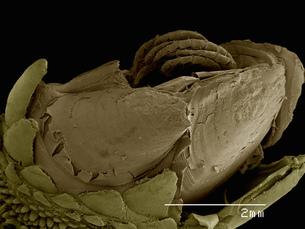 Gooseneck barnacle Pedunculata: Pollicipededae poss. Pollicipes spの写真素材 [FYI03565418]