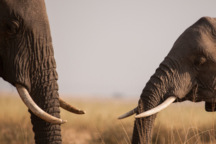 African elephants meet and greet in the plains of Masai Mara, southern Kenyaの写真素材 [FYI03565500]