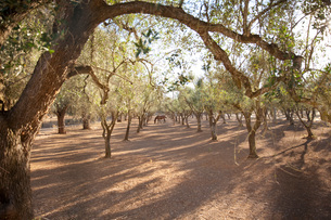 Olive grove, Lecce, Italyの写真素材 [FYI03565800]
