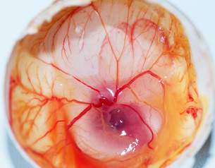 Chick embryo in egg shellの写真素材 [FYI03566973]