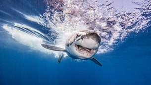 Great White shark entering water after attacking bait, underwater viewの写真素材 [FYI03567287]