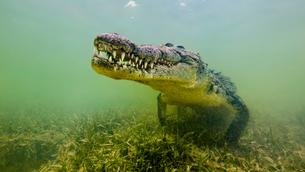 American saltwater crocodile, underwater viewの写真素材 [FYI03567293]