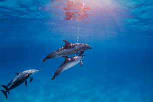 Group of Atlantic Spotted dolphins, underwater viewの写真素材 [FYI03567298]