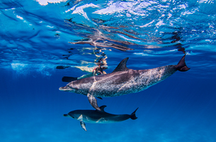 Atlantic Spotted dolphins, underwater viewの写真素材 [FYI03567302]