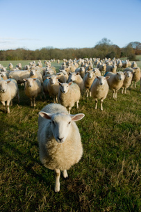 Portrait of curious flock of sheep standing in field landscapeの写真素材 [FYI03567437]