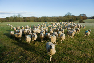 Portrait of curious flock of sheep standing in field landscapeの写真素材 [FYI03567438]