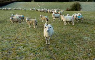 Portrait of curious sheep on field hillsideの写真素材 [FYI03567439]