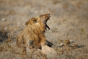 Lion lying with mouth open in arid plain, Namibia, Africaの写真素材 [FYI03567541]