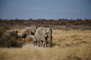 Female and juvenile elephants walking in arid plain, Namibia, Africaの写真素材 [FYI03567544]