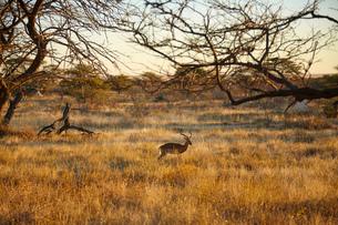 Gazelle in plain landscape, Namibia, Africaの写真素材 [FYI03567561]