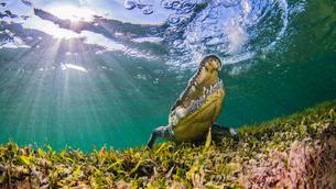 Saltwater Crocodile, underwater view, Chinchorro Banks, Mexicoの写真素材 [FYI03567673]