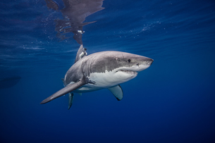 Great white shark, underwater view, Guadalupe Island, Mexicoの写真素材 [FYI03567680]