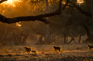 Group of adult and juvenile baboons (Papio cynocephalus ursinas), backlit at sunset,  Mana Pools Natの写真素材 [FYI03567850]
