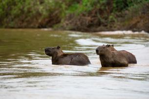 Three capybara (Hydrochaeris hydrochaeris) wading in river, Pantanal, Mato Grosso, Brazilの写真素材 [FYI03567879]