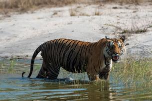 Bengal tiger (Panthera tigris tigris), Bandhavgarh National Park, Indiaの写真素材 [FYI03568073]