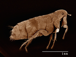 Scanning electron micrograph of the head of a flea (siphonaptera)の写真素材 [FYI03568124]