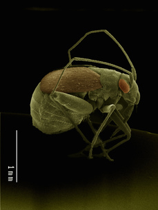 Scanning electron micrograph of a true bug (hemiptera)の写真素材 [FYI03568141]