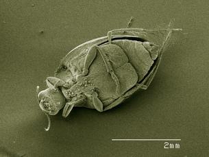 Scanning electron micrograph of a crawling water beetle (Coleoptera: Halipidae)の写真素材 [FYI03568144]