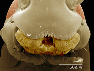 Scanning electron micrograph of a male millipede (Diplopoda)の写真素材 [FYI03568153]