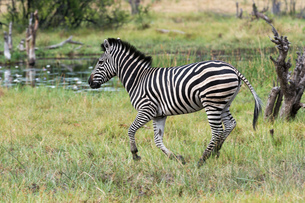 Burchell's zebra (Equus burchellii) running in grassland, Khwai concession, Okavango delta, Botswanaの写真素材 [FYI03568512]