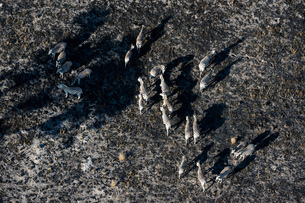 Aerial view of Burchell's zebra (Equus burchellii) herd searching for pasture after bush fire, Okavaの写真素材 [FYI03568536]