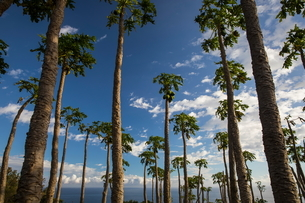 Palm trees and Indian Ocean, Reunion Islandの写真素材 [FYI03568553]