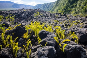 Volcanic landscape with black rocks and ferns, Reunion Islandの写真素材 [FYI03568563]
