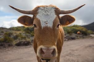 Portrait of cow on dirt track, Reunion Islandの写真素材 [FYI03568576]