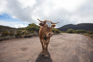 Landscape with cow on dirt track, Reunion Islandの写真素材 [FYI03568577]