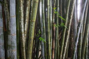 Row of bamboo plants, detail, Reunion Islandの写真素材 [FYI03568580]