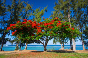 Red flowering shrub on beach and Indian Ocean, Reunion Islandの写真素材 [FYI03568586]
