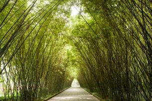 Pathway arched by tall green bamboos, Wang jiang lou park, Chengdu, Sichuan, Chinaの写真素材 [FYI03568863]