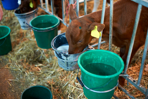 Calf feeding through fence in cattle shedの写真素材 [FYI03569795]