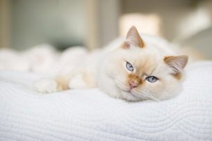Rag doll cat with blue eyes on bedの写真素材 [FYI03570274]