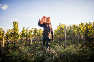 Rear view of young man carrying grape crate on shoulder in vineyardの写真素材 [FYI03570808]