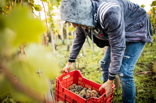 Young man lifting grape crate in vineyardの写真素材 [FYI03570811]