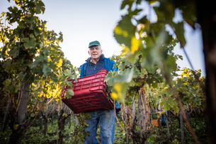 Portrait of senior man carrying grape crate in vineyardの写真素材 [FYI03570813]