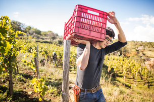 Young man carrying grape crate on shoulder in vineyardの写真素材 [FYI03570815]