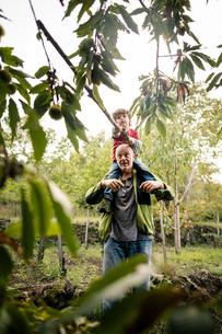Boy on man's shoulders poking chestnut tree with pole in vineyard woodsの写真素材 [FYI03570823]
