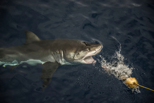 Great shark taking fishing bait, Guadalupe Island, Mexicoの写真素材 [FYI03571031]
