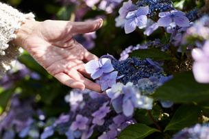 Senior woman outdoors, touching growing flowers, close-up, Cork, Irelandの写真素材 [FYI03571193]