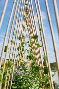 Plants growing up garden canes, Cork, Irelandの写真素材 [FYI03571195]