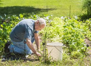 Man tending to vegetable gardenの写真素材 [FYI03571630]