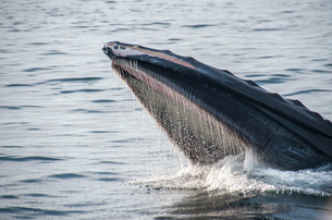 Humpback whale feeding on water surface, Provincetown, Massachusetts, USAの写真素材 [FYI03572051]
