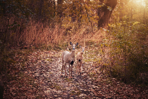 Portrait of mother deer and fawn in autumn forest, Cherry Valley, Illinois, USAの写真素材 [FYI03572451]