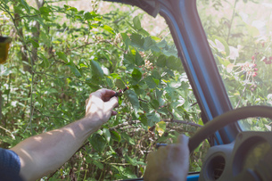 Man driving off road vehicle, picking berries through open windowの写真素材 [FYI03573530]