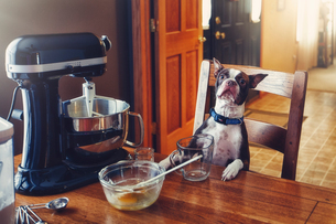 Dog sitting at table, food mixer and baking equipment on tableの写真素材 [FYI03574131]