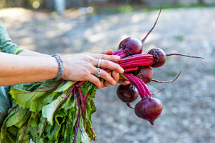 Woman's hands holding bunch of beetroot on allotmentの写真素材 [FYI03574726]