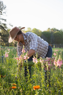 Young woman selecting snapdragons (antirrhinum) from flower farm fieldの写真素材 [FYI03574761]